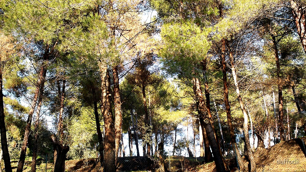 A pine-scented forest by daffodil