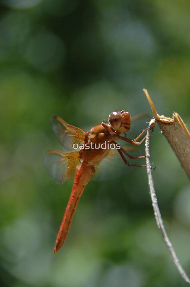 dragonfly by oastudios