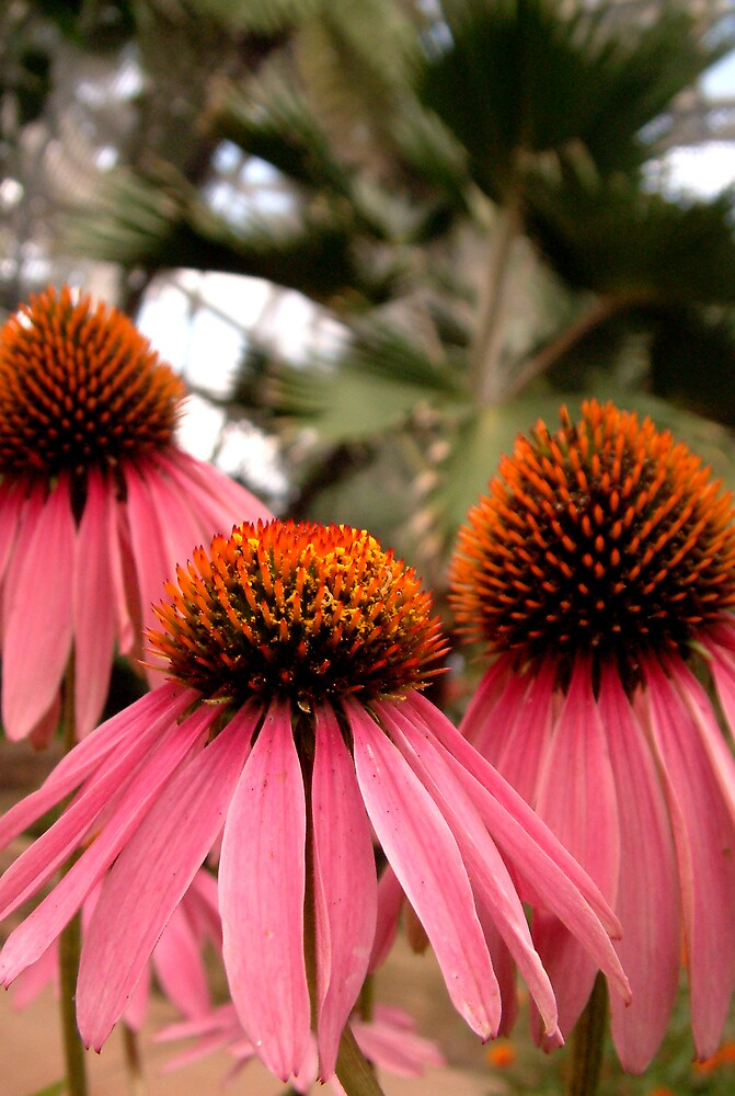 Coneflower by Amy Beaumont