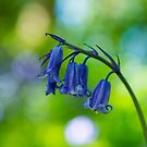 Bluebell  by M S Photography/Art