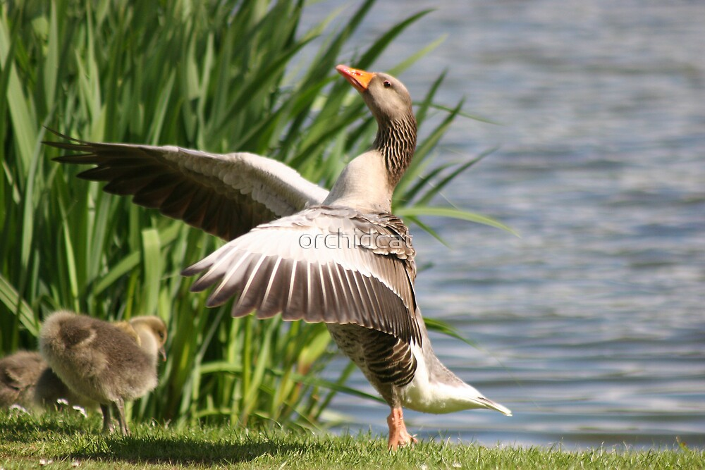 Goose in the reeds by orchidcat