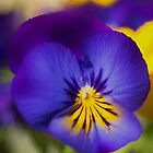 Pansy Flower by M.S. Photography/Art