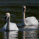 Mute Swans by Colin Shepherd