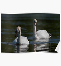 Mute Swans Poster