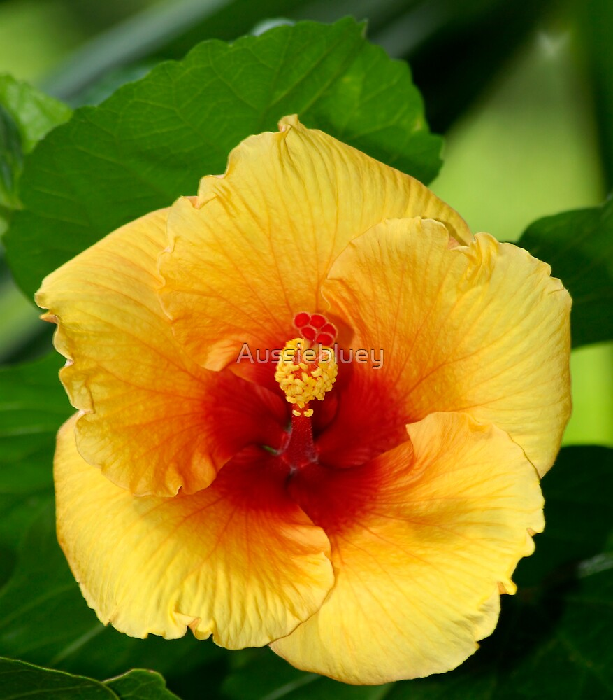 Hibiscus by Aussiebluey