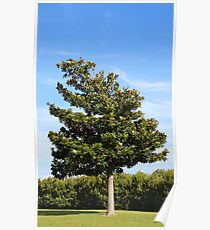 Southern Magnolia Tree Poster