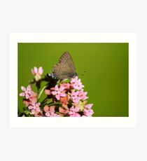 Hairstreak Butterfly and Flowers Art Print