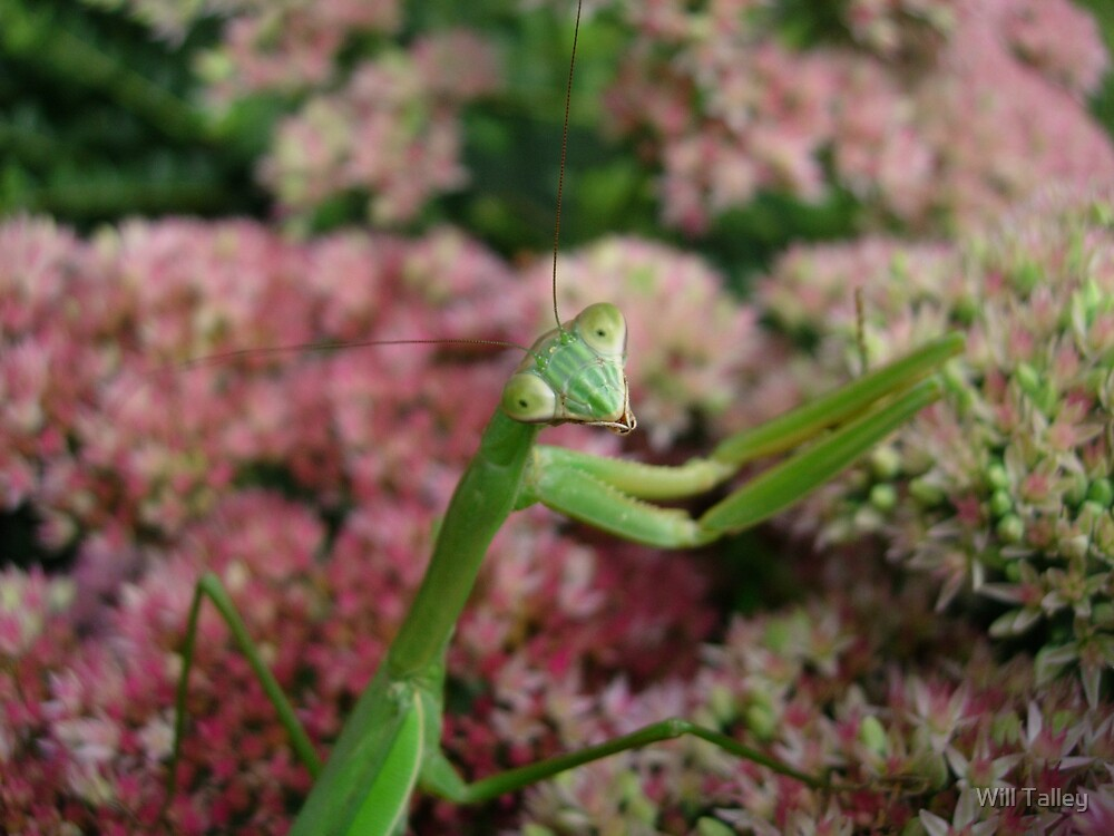 Praying Mantis by Will Talley