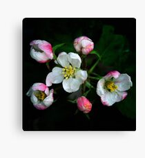 Apple blossoms in pink and white Canvas Print
