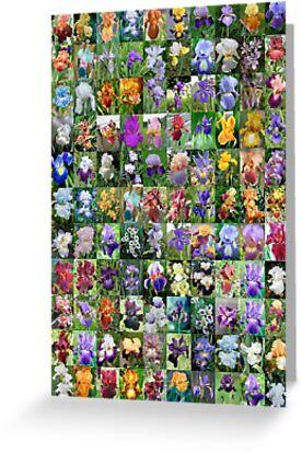 Irises by dblerner