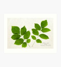 White Ash Tree Art Print