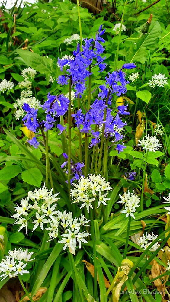 English spring wild flowers by ian alex blease redbubble english spring wild flowers by ian alex blease mightylinksfo