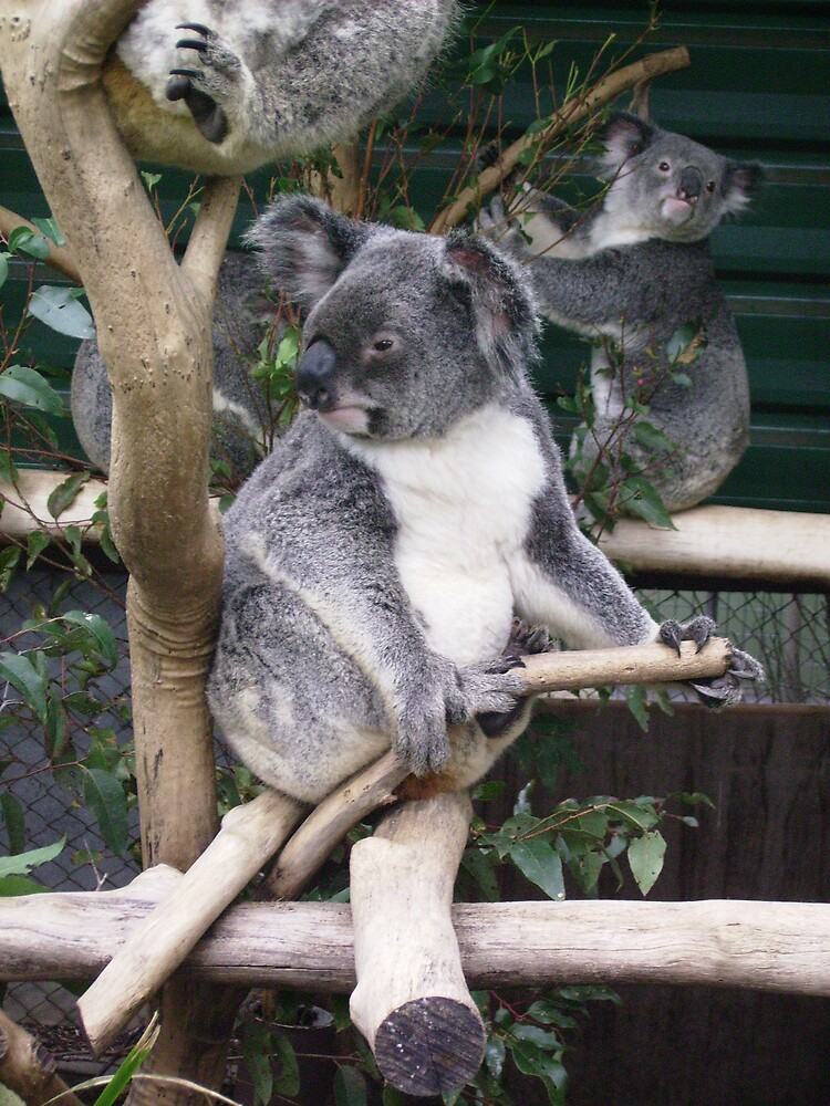 Koala by Clix01