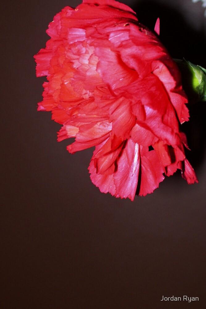 sweet carnation by Jordan Ryan