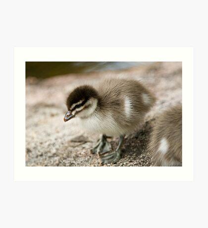 Australian Wood Duck Duckling Art Print