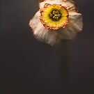 The very last daffodil... by alan shapiro