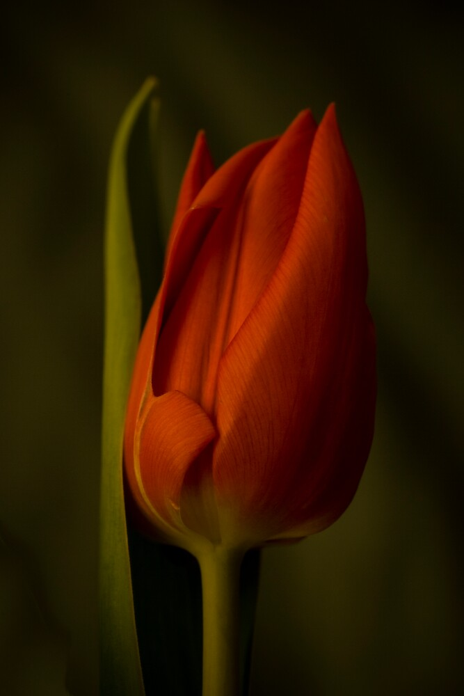 Red Tulip by jephoto