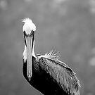 Gray Day Pelican by Jonicool