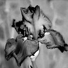 The Painted Iris in Black and White by Sherry Hallemeier