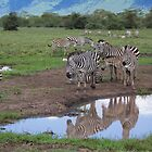 Grant's Zebras and Reflection by Yair Karelic