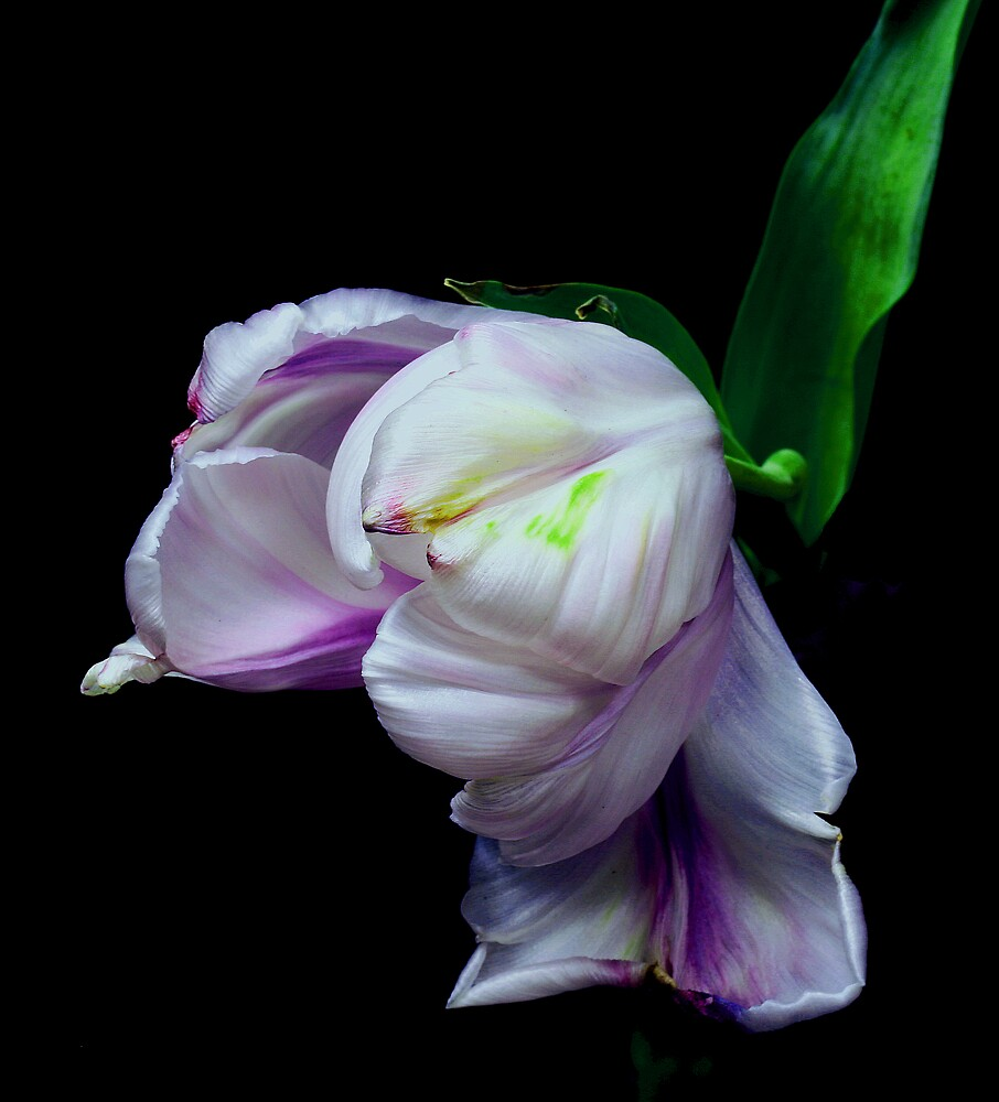 Violet Tulip by Swede