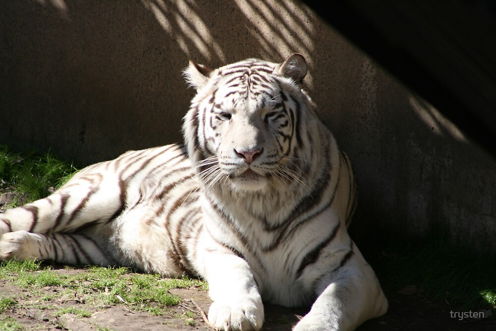 Tiger in the sun  by trysten