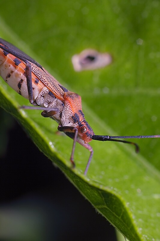Nice looking plant bug by dpastern