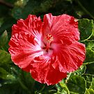 Red Hibiscus by DPalmer