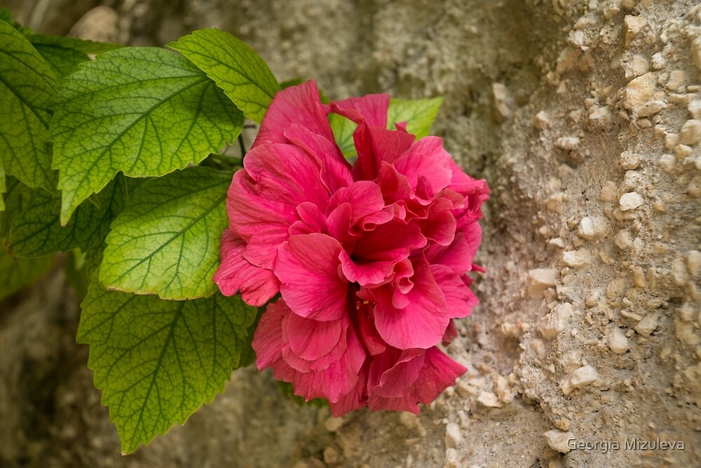Rough and Soft - Satiny Pink Hibiscus Against Coarse Stony Cliff by Georgia Mizuleva