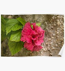 Rough and Soft - Satiny Pink Hibiscus Against Coarse Stony Cliff Poster