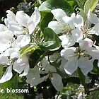 Just Apple blossom  by jamluc