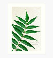 Staghorn Sumac Tree Art Print