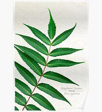 Staghorn Sumac Tree Poster