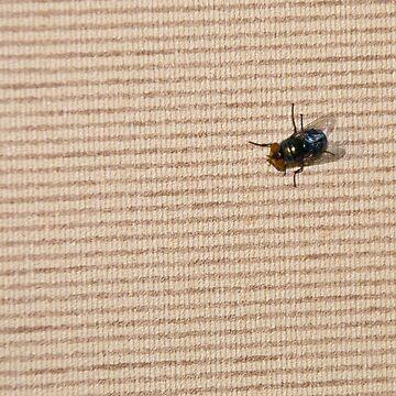 Blue-bottle fly (close-up), India by SheriarIrani