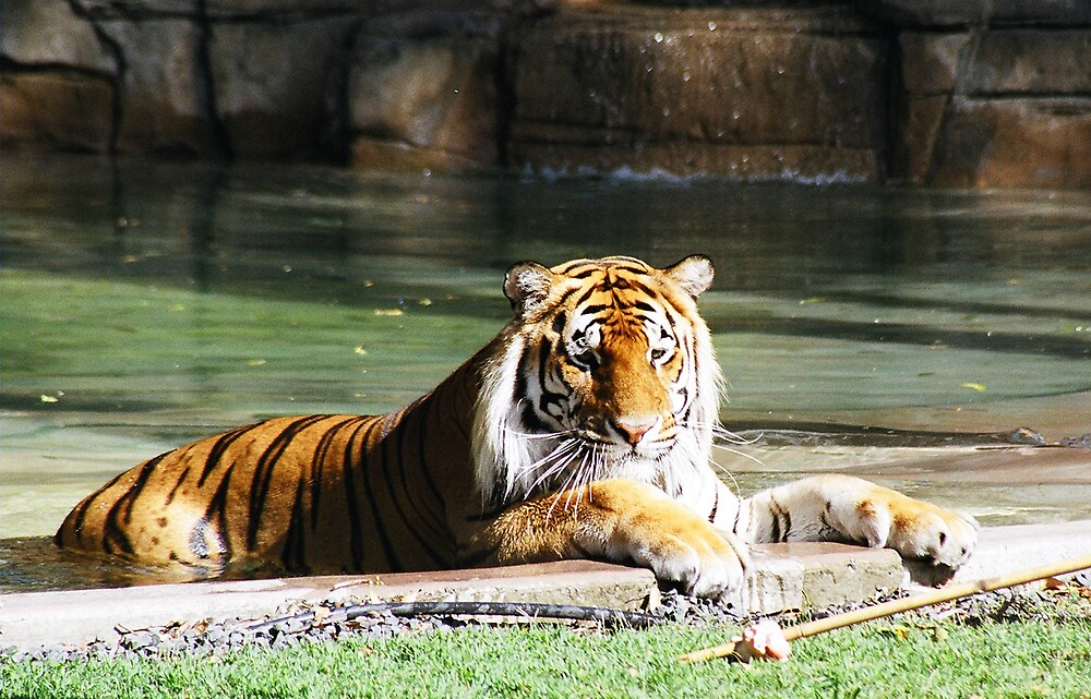 Bengal Tiger by picturethis