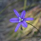 Brodiaea laxa by Chris Clarke