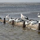 Swan Bay Pelicans by philip73