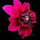 My Dahling Dahlia! by Rosemary Sobiera