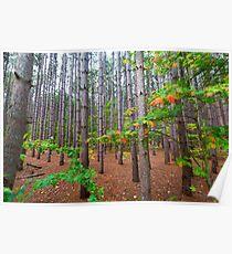 Stand von Pine Tree Forest auf Pierce Stocking Drive in Sleeping Bear Dunes Poster
