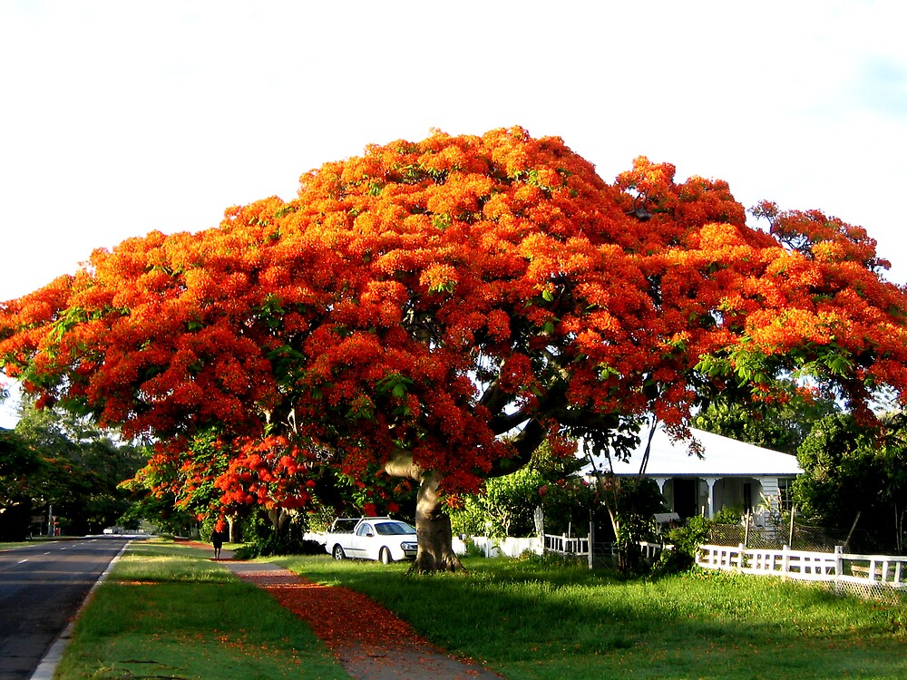 Magnificent Poinciana  by Rhapsody