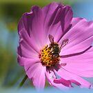 Bee on Cosmos by Chris Coetzee