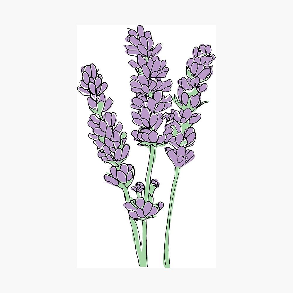 Lavendel-Illustration Fotodruck