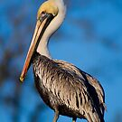 Perched Pelican by Jonicool