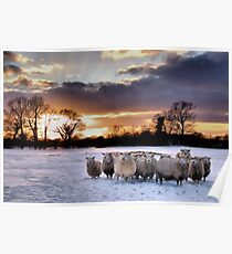 Cold Hungry Sheep Poster