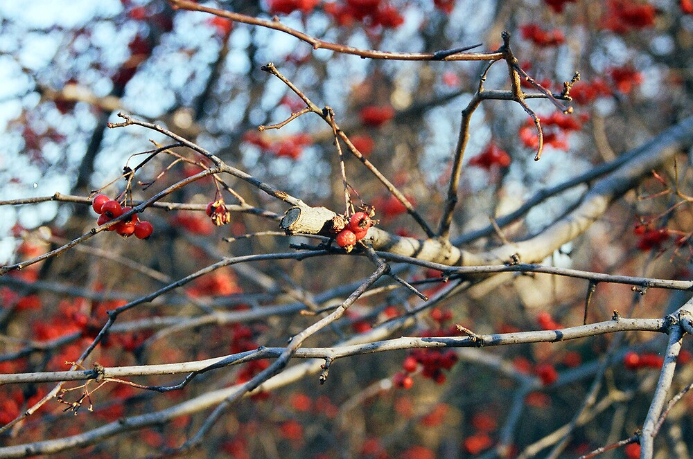 berries by Darwin Deleon