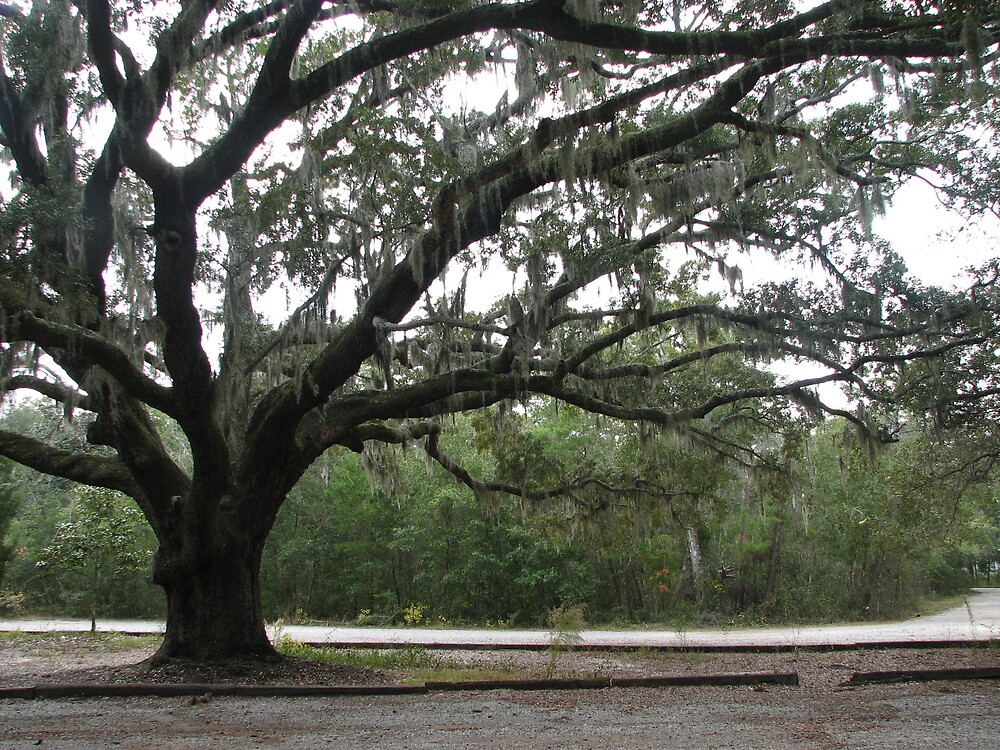Live Oak - Alabama by IndyLady