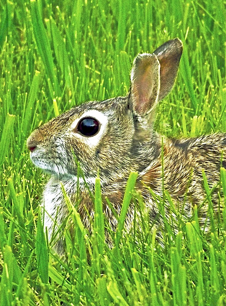 Eastern Cottontail Rabbit by MrGrim