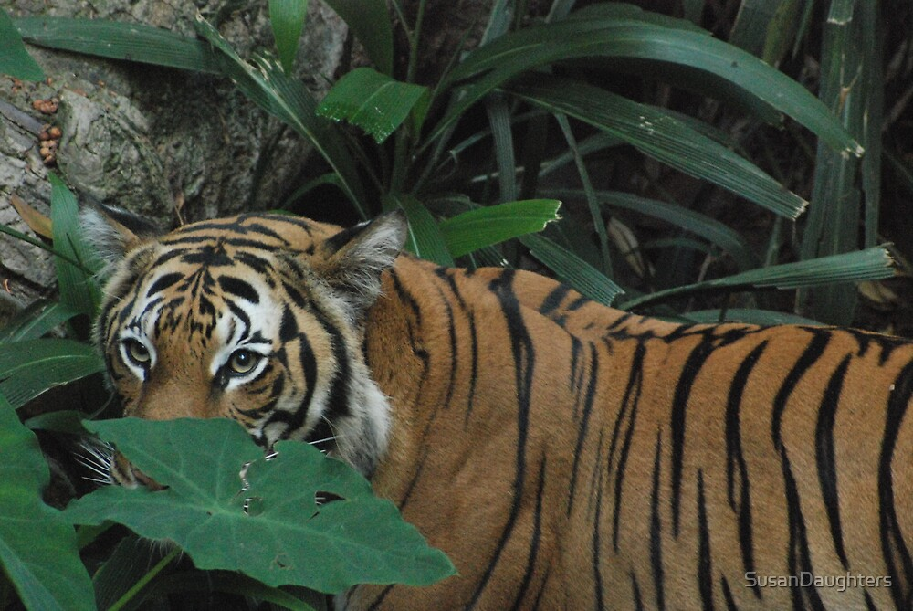 Tiger at San Diego Zoo 2 by SusanDaughters