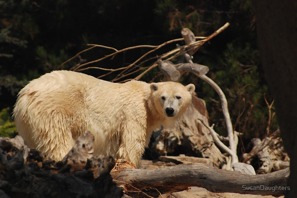 Polar Bear by SusanDaughters