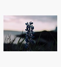 Purple Flower at Sunset Photographic Print